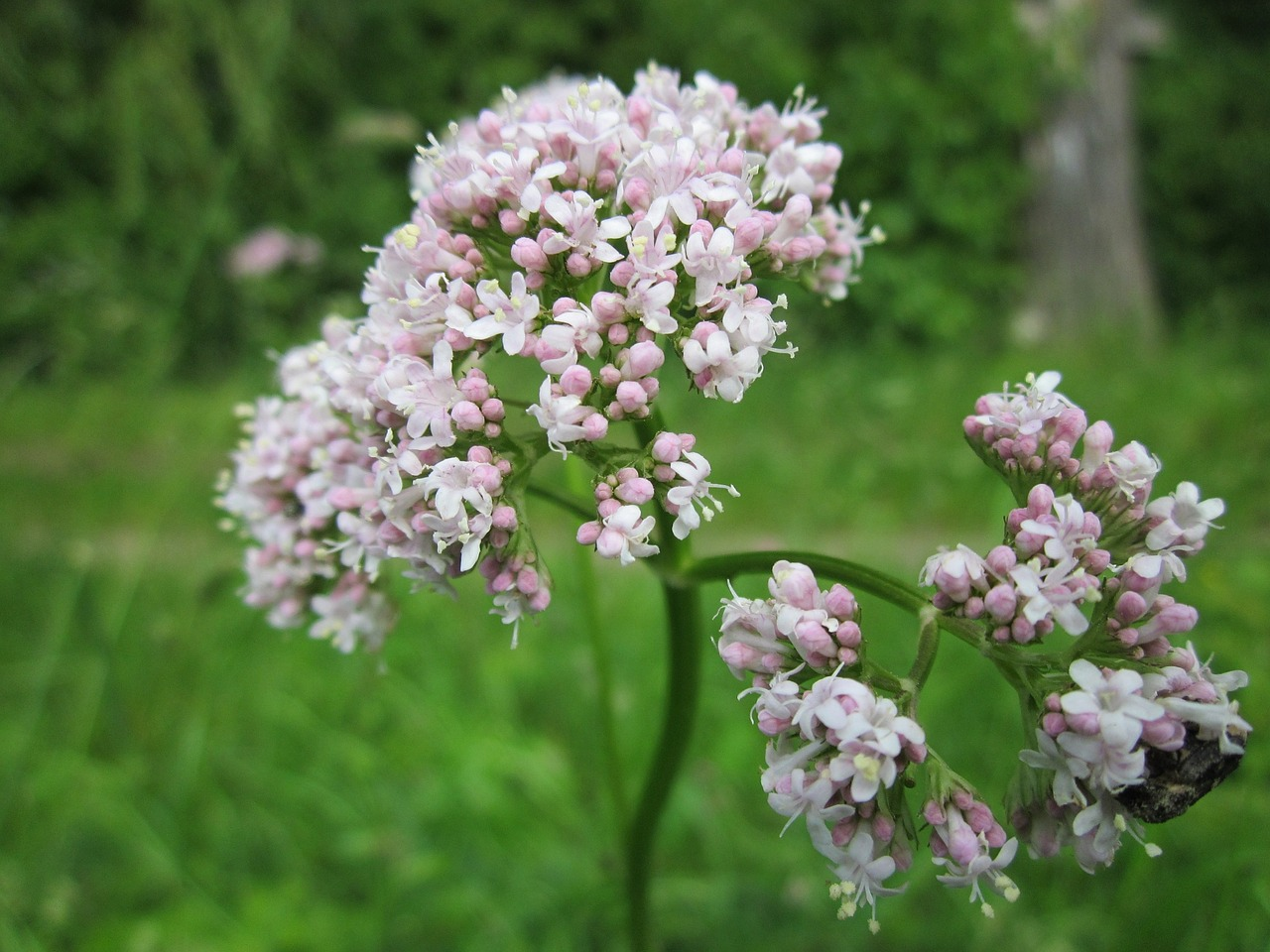 valeriana-officinalis